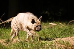hyena (Cloudtail the Snow Leopard) Tags: tierpark zoo berlin tier animal mammal säugetier hyäne striped hyena streifen hyaena cloudtailthesnowleopard