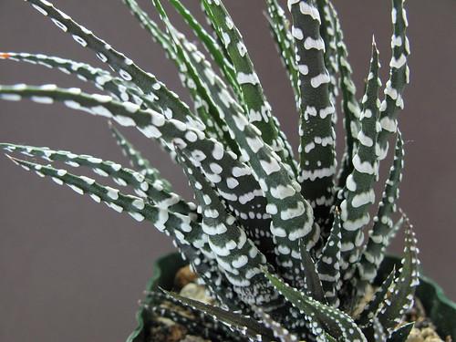 Fasciata Big Haworthia Fasciata cv Big