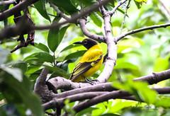 Golden Oriole (Himalayan Bird) (adityanafde.photography) Tags: bird golden himalayan oriole