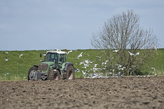 Feldarbeit mit Lachmwenbegleitung (hardi_630) Tags: traktor gull feld nordsee frhling trecker feldarbeit frhjahr lachmwe
