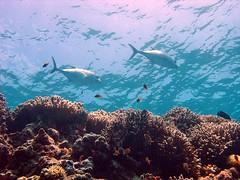 under the sea (explore) (DOLCEVITALUX) Tags: sea underwater scuba tuna albatross