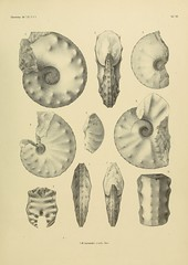 palaeontographic21cass_0311 (kreidefossilien) Tags: germany publicdomain cretaceous monograph cephalopoda schlter ammonitida belemenitida