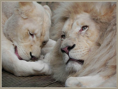 DSCN4480 White Lion and Lioness (Ria en Reinier) Tags: africa cats animals wildlife ngc lion lioness wildcats specanimal