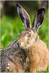 Lepre (Fausto Deseri) Tags: wild nature wildlife lepuseuropaeus europeanhare santagatabolognese lepre mammiferi nikontc17eii nikkorafs300mmf4 nikond7100