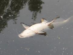 fish kill 2008 054