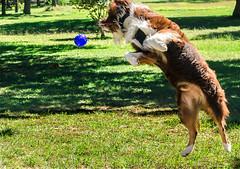 10.14.14 - Leaping for joy (CarmenSisson) Tags: usa dog pet playing animal ball jump cowboy play alabama canine kong aussie australianshepherd coden squeezz kongsqueezball