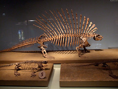 "Edaphosaurus fossil • <a style=""font-size:0.8em;"" href=""http://www.flickr.com/photos/34843984@N07/15353431469/"" target=""_blank"">View on Flickr</a>"