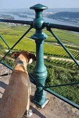 Dog looking at vineyards (Thorsten Reiprich) Tags: sun travelling river germany landscape deutschland cycling vineyard reisen europa europe day hessen wine tag fluss rhine landschaft sonne rhein radtour wein weinberg hesse 2014