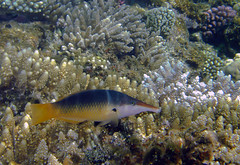 (Female) The #Red #sea #fishes (Andrey Velichko) Tags: red sea fish coral underwater egypt diving exotic snorkling reef fishes corals hurghada parrotfish sergeant surgeon   chaetodon  snorceling             trifascialis                  megaprotodon