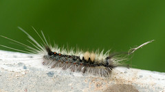 Unidentified Caterpillar (Mike Prince) Tags: india bangalore lepidoptera caterpillar karnataka butterfliesandmoths bengaluru insectsandspiders frazertown