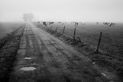 cows in the mist (opdrie) Tags: road trees blackandwhite bw nature water netherlands dutch animal rural landscape cow vanishingpoint cows nederland explore
