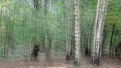 Silver Birches of Coombe (wetbicycleclappersoup) Tags: icm intentionalcameramovement