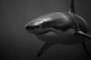 So close - Si proche (Sharkoliv) Tags: underwater 2014 guadalupeisland nautilusexplorer
