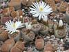DSCF0388 (BobTravels) Tags: plant stone bob lithops lithop messem bobwitney