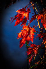 Maple Leaves Shadows (http://fineartamerica.com/profiles/robert-bales.ht) Tags: blue autumn red canada black tree fall nature wow spectacular photo maple quiet fallcolor northwest superb god fallcolors awesome fineart country scenic surreal floating peaceful idaho acer single sensational inspirational spiritual sublime habitat magical shining tranquil emmett magnificent inspiring soothing haybales stupendous picturesqueness canonshooter treasurevalley gemcounty idahophotography americanphotograph robertbales northamericanphotography vignetteiphonecase