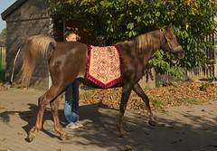 CD Mouna_20141101_6856 (Patrick Roose Equine Photography pa.ro@telenet.be) Tags: horse arabian straight egyptians