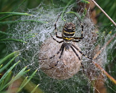 """""""Argiope bruennichi"""" with eggs (bugman11) Tags: macro nature animal animals fauna canon bug insect spider spiders nederland thenetherlands insects bugs eggs thegalaxy platinumheartaward 100mm28lmacro"""