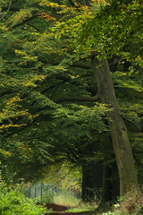 Wooded Bank with Beech - Fagus sylvatica (Mark Meijrink) Tags: wood autumn forest woodland herfst autumnleaves autumncolors lane bos beech herfstkleuren laan wooded beuk fagussylvatica deciduouswoodland houtwal woodedbank houtsingel