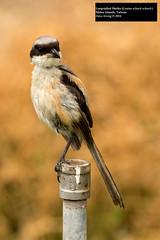 Long-tailed Shrike (Lanius schach schach) (Dave 2x) Tags: taiwan matsu shrike laniusschach longtailedshrike rufousbackedshrike leastconcern daveirving matsuislands laniusschachschach httpwwwdaveirvingwildlifephotographycom