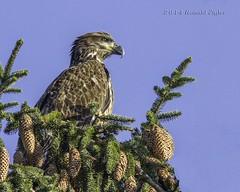 Juvenile Bald Eagle IMG_7086 (ronzigler) Tags: bird nature baldeagle raptor juvenile birdwatcher