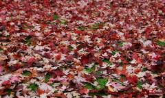 Manto de hojas (Ousia Dark) Tags: autumn hojas leaf otoo nikond40 paquecampodelmoro