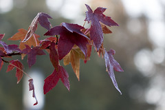 bokeh (diwan) Tags: city autumn red detail macro rot nature leaves canon germany geotagged deutschland eos ast place bokeh herbst natur magdeburg stadt makro bltter b