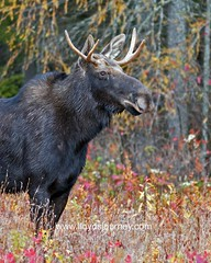 IMG_6528 (lloydsjourney) Tags: autumn wild snow fall nature natural wildlife maine newengland newhampshire moose bull antlers mtwashington rack lloyd alexander bullmoose lloydalexander