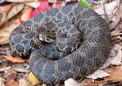 Eastern Massasauga Rattlesnake (Nick Scobel) Tags: snake michigan pit species endangered fangs viper eastern rattlesnake venomous rattler sistrurus massasauga catenatus