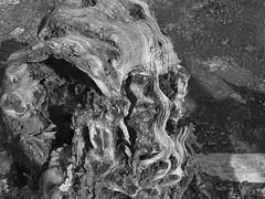 Epecuen. Tamarix aphylla (Tamarisco) (sbstnhl - Siti) Tags: bw naturaleza blanco lago arboles sony inundacion negro bn sal raices desnudas dsch2 epecuen