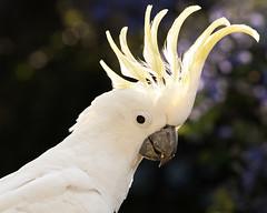 Sulphur-crested Cockatoo, Australia (kerriebr) Tags: bird yellow gold coast bokeh australian crest queensland sulphur backlit curious jacaranda cockatoo crested interest cacatua galerita