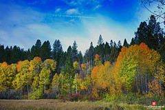 Legends Of The Fall (Thncher Photography) Tags: autumn nature leaves oregon centraloregon landscape outdoors northwest bend fallcolors sony scenic fullframe aspen fx deschutesriver bigeddy a7r sonya7r sonyilce7r zeissfe35mmf28za
