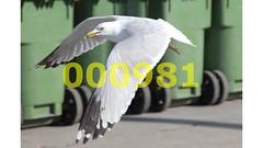 Flickr_000981 (mike_ho_htc) Tags: canada canon eos montreal seagull jose 5d gaviota markii larus arboleda laridae delawarensis canonef24105mmf4lis josmarboledac freedomtosoarlevel1birdphotosonly