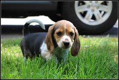 *little Arya* (^i^heavensdarkangel2) Tags: beagle colorado heavenly newpup colorfulcolorado heavenlycreature heavenlyfamilyfriends desbahallison heavensdarkangel2 ihda~desbahallison heavensnewpuppy