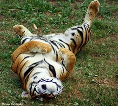 Fuera pereza / Fora mandra / Lazyness out (Ferny Carreras) Tags: wild naturaleza nature animal animals fauna tiger natura animales tigre cantabria cabarceno