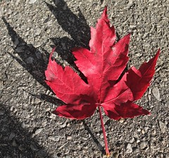 The Maple Leaf Forever (reinap) Tags: canada mapleleaf peacetower themapleleafforever