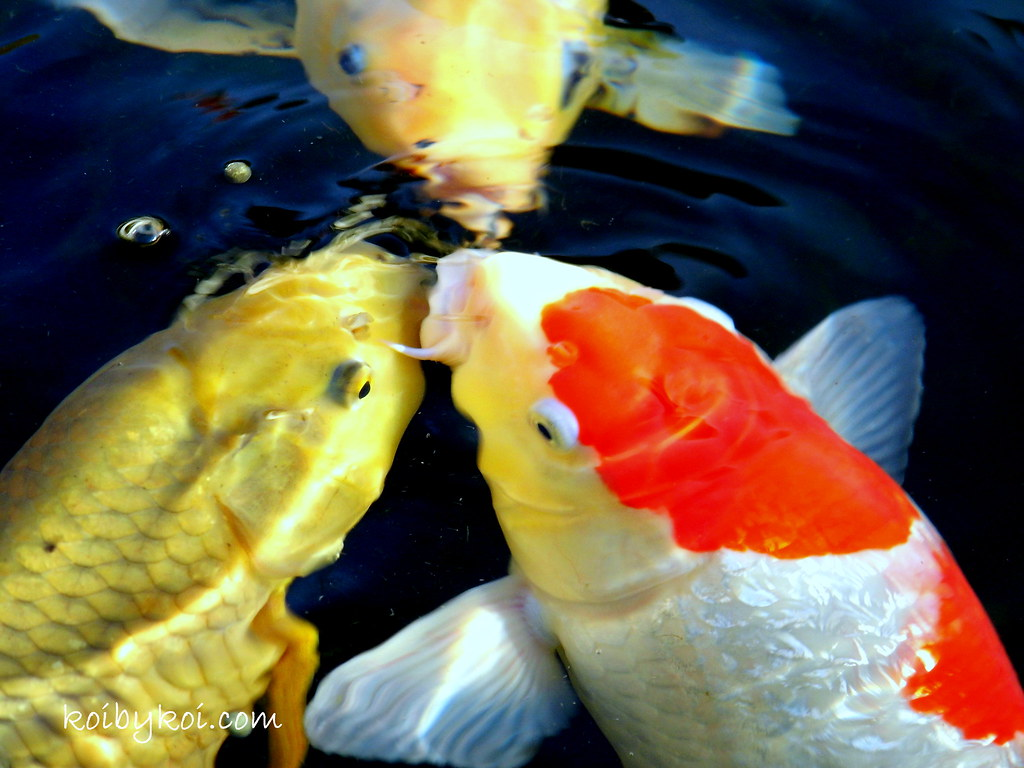 The world 39 s best photos of chagoi flickr hive mind for Best koi food