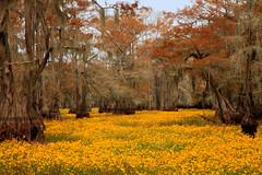 Unusual floor covering for bald cypress trees. (Backyardbella) Tags: asteraceae bidens asterfamily burmarigold bidenslaevis