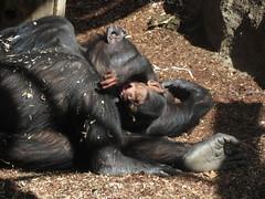 Sudi and Shiba (myopixia) Tags: chimpanzee shiba taronga tarongazoo sudi pantroglodytes myopixia