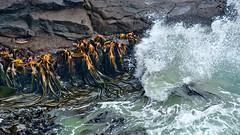 NZ Harrington Point - Dunedin (scrumpy 10) Tags: ocean newzealand nikon waves kelp dunedin scrumpy neuseeland d800 jacqualine harringtonpoint scrumpy10