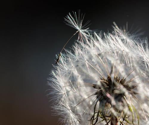 11-1 382-lre (Captured Heart) Tags: dream dandelion wish wishing flyaway setapart