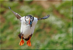 Puffin Supper (Nickerzzzzz - Thanks for stopping by :)) Tags: bird nature wings wildlife flight feathers puffin bif rspb fratercula skomer auk ©nickudy