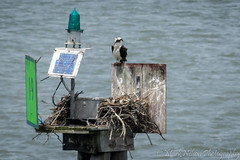 Female Osprey and Baby -Assateague National Seashore (MarkNelsonJr84) Tags: park summer bird bay md nikon nps hawk wildlife maryland national waterfowl predator seashore osprey assateague 2015 d7100