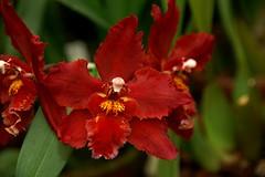 Odontioda Devilish Red (rolf_leon) Tags: orchideen orchids orchidées odontoglossum oncidium odontioda