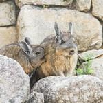 Angry Bunny thumbnail