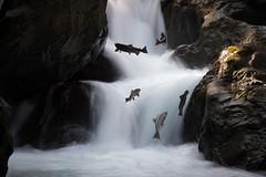 Rush Hour On The Salmon Super Highway (howardignatius) Tags: solduc wa olympic olympicnationalpark salmon falls water migration