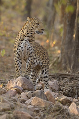 Leopard gaze (dickysingh) Tags: ranthambore ranthambhore wild wilderness leopard cat bigcat alert jungle