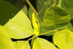 Green Vine Snake (julessyrad) Tags: vinesnake greenvinesnake tortuguero costarica
