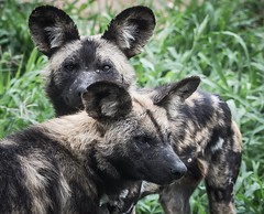 Namibian wild dog pack hunting (Sas & Rikske) Tags: namibian wild dog pack hunting afrika african africa the dogs thewilddogs painted wolf deblauwevogelnamibië de blauwe vogel namibië 2017