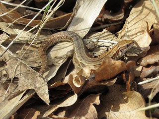 Common Lizard (Zootoca vivipara)