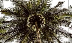 தென்னம்பந்தல் (Ramalakshmi Rajan) Tags: trees coconuttrees nikond5000 nikon nikkor35mm bangalore